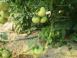 Tomate verde cuajado en planta
