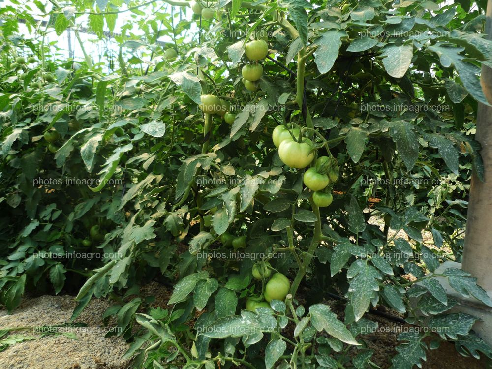 Frutos de tomate cujados en planta