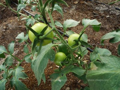 Frutos de tomate cuajados desde arriba