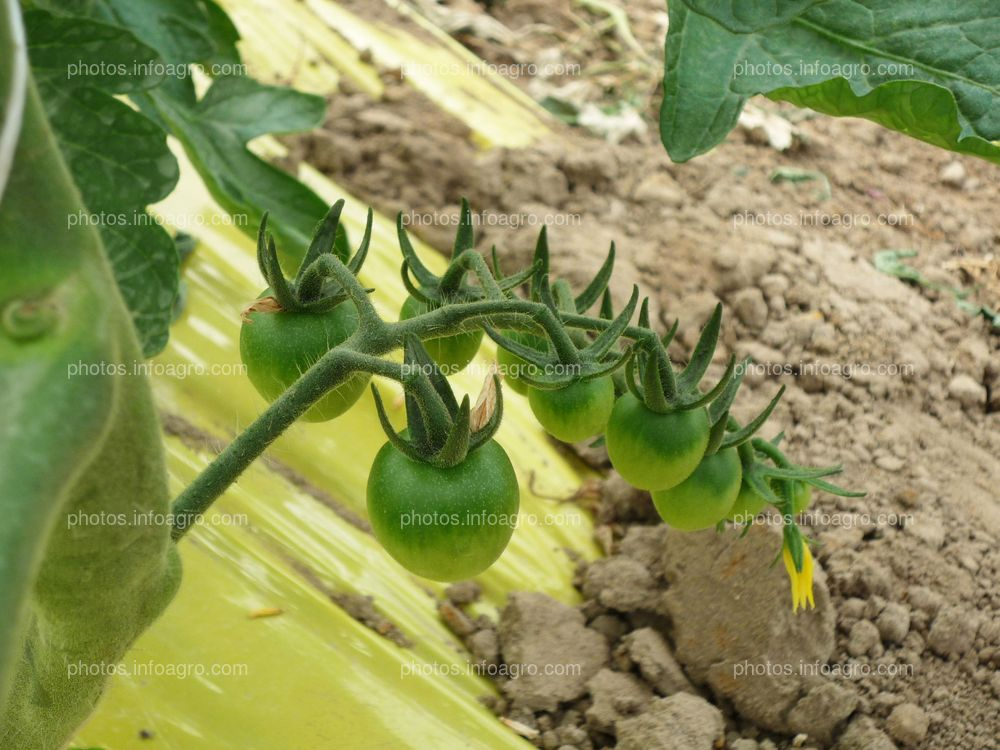 Frutos de tomate verde tipo Daniela