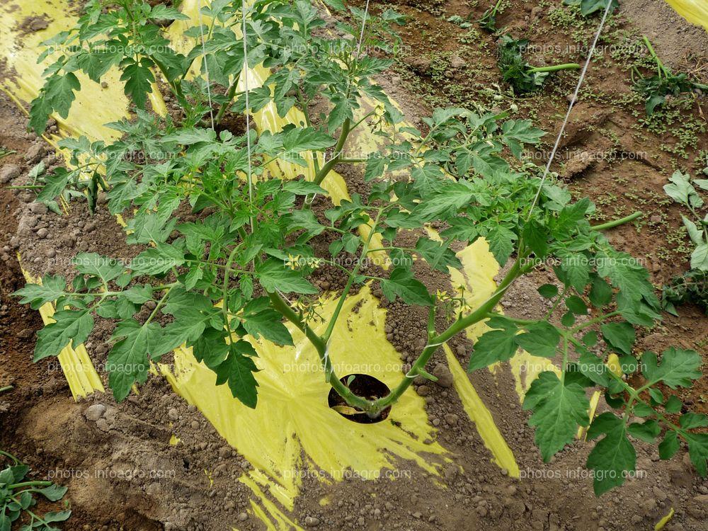 Entutorado de tomate tipo daniela bajo plástico