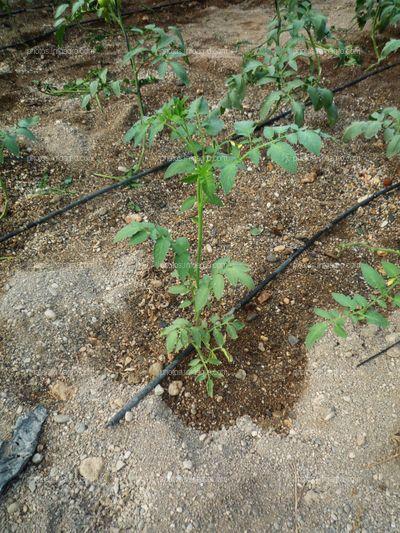 Riego localizado en tomate