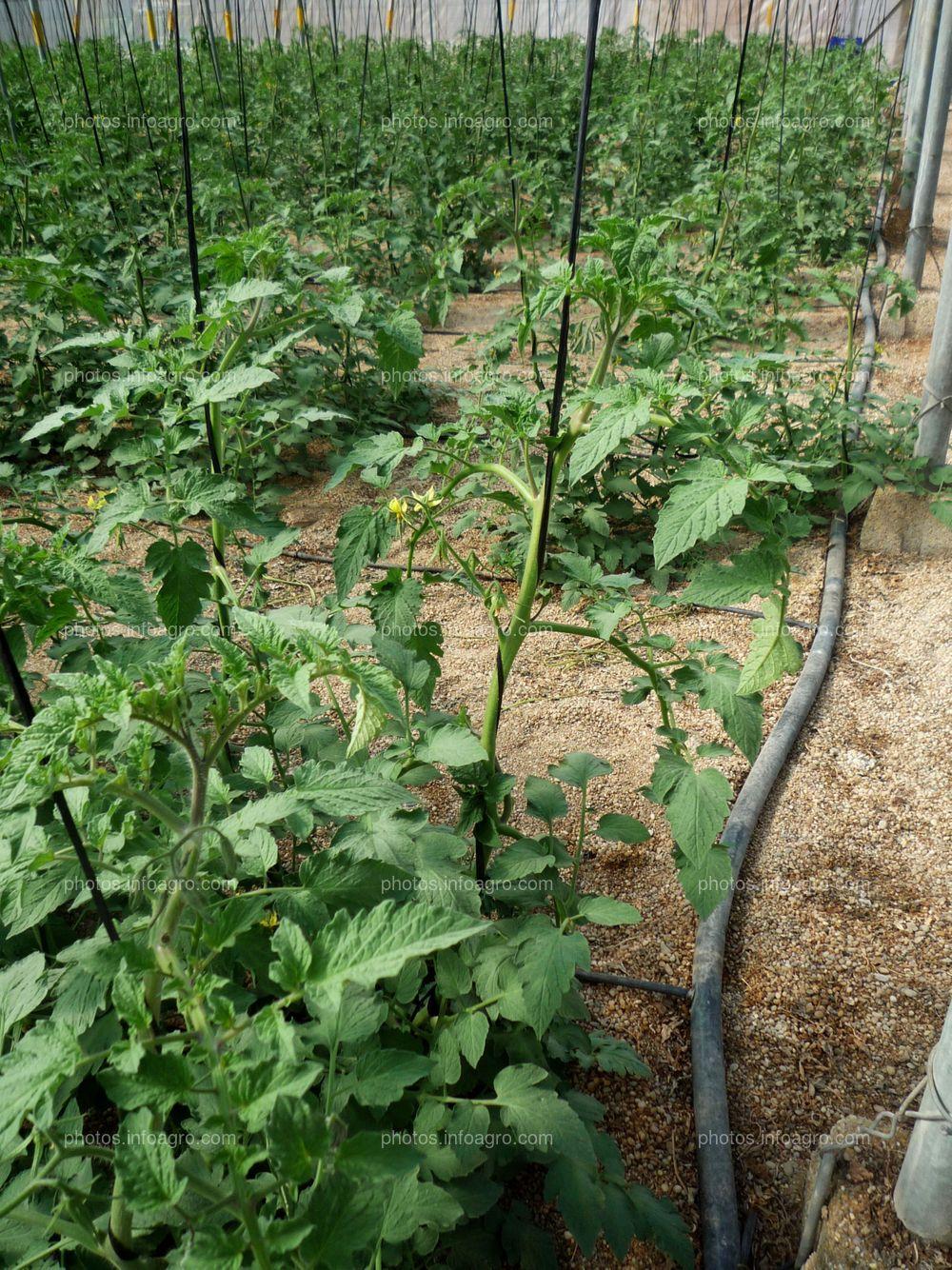 Invernadero con cultivo de tomate