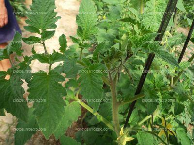 Inflorescencias tomate verde