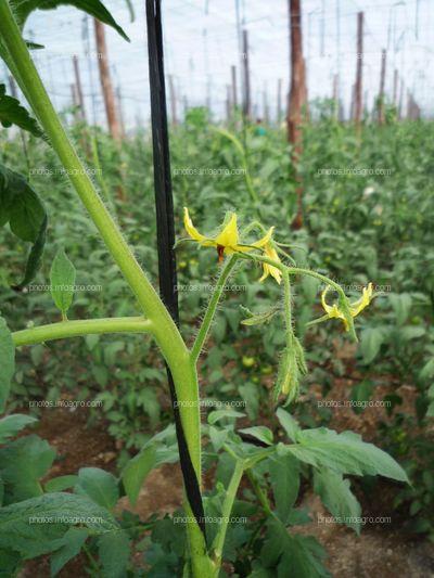 Flor de tomate verde