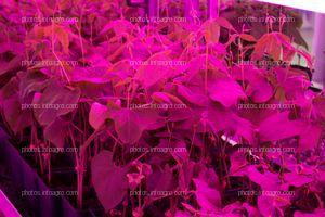 Plantas con las que se están haciendo ensayos, iluminadas con luz LED