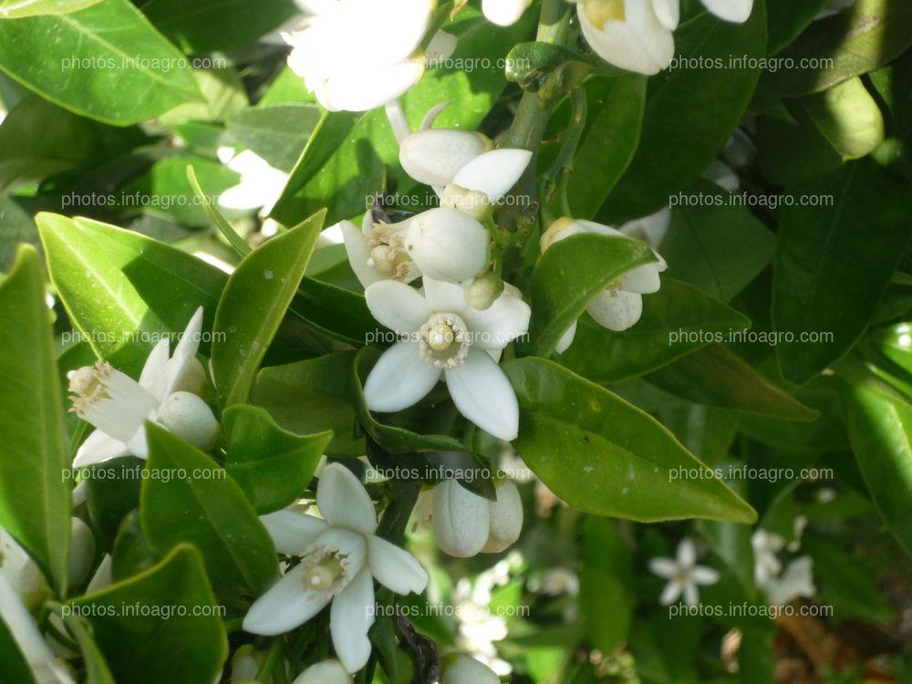 Hojas y flores de naranjo Citrus sinensis L.