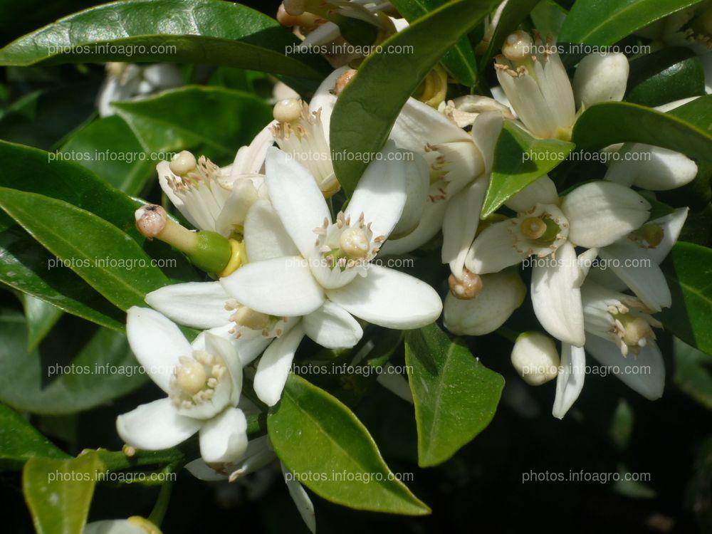 Detalle de floración en naranjo