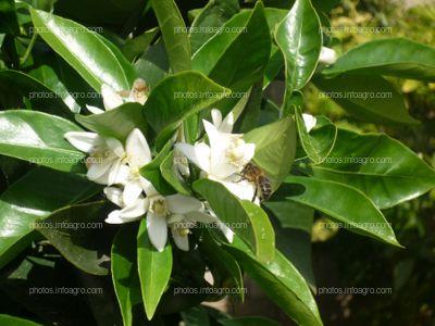 Polinizador en flores de azahar