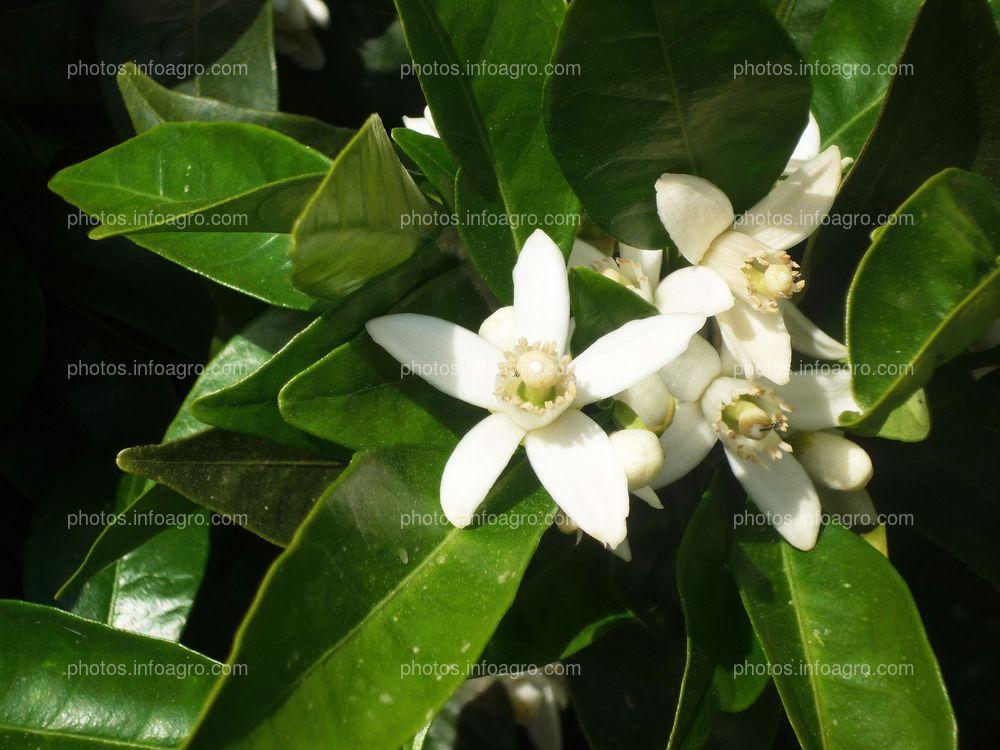 Flor de azahar Citrus sinensis L.
