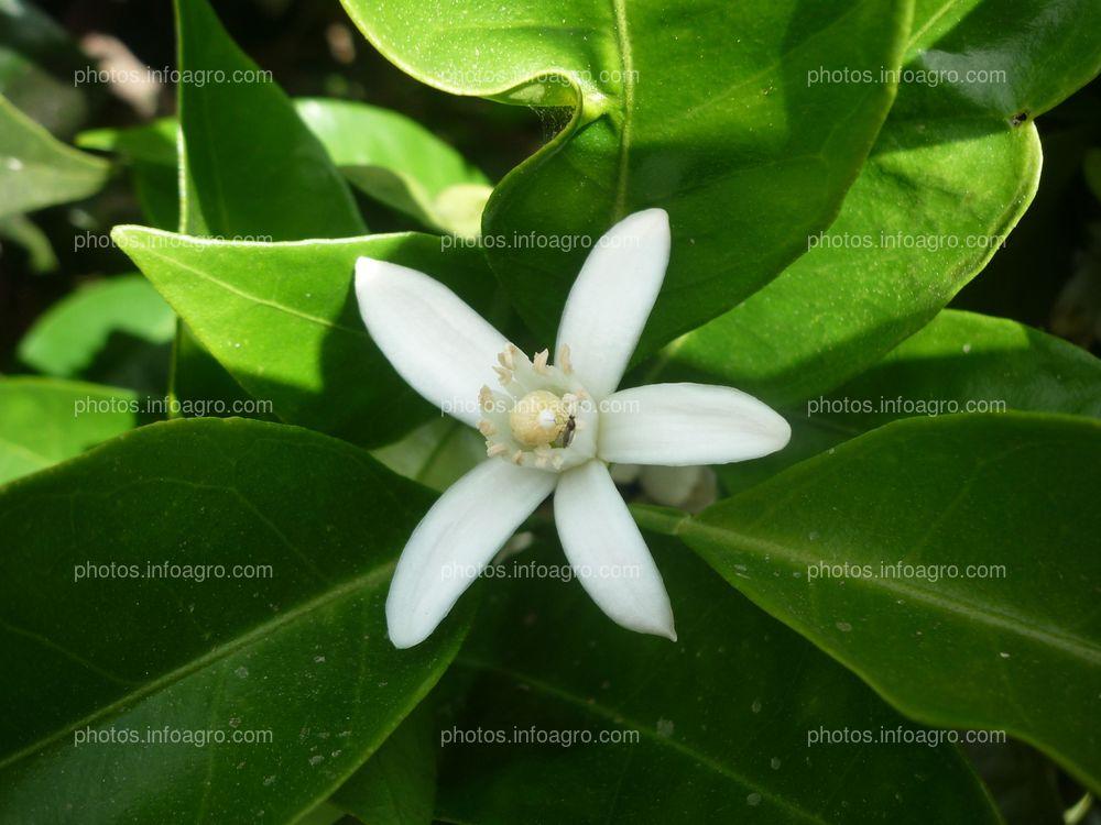 Detalle de flor de azahar Citrus sinensis L.