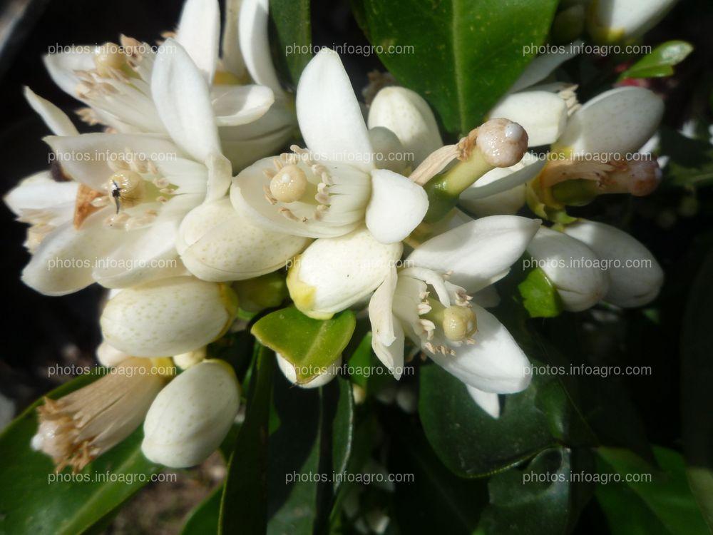 Vista cercana de flores de naranjo Citrus sinensis L.