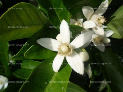 Planta de naranjo Citrus sinensis L.
