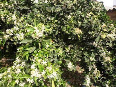 Floración de naranjo Citrus sinensis L.